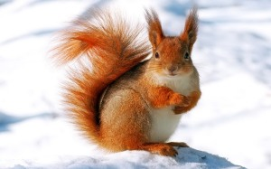 winter-squirrel-hd-wallpapers
